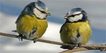 British birds Picture Quiz